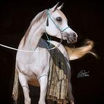 Baariyah - 2003 Straight Egyptian Arabian Mare sired by Imperial Baarez;  show record: 2005 Egyptian Event Top Five Futurity Champion (4/21). Photo by Jenni Ogden