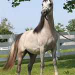 Zaahir Staar - 2009 Straight Egyptian Arabian Colt sired  by Imperial Mistaar; show record: 2011 Egyptian Event Top Five Futurity Champion;  Exported to China, Diana Cantey photo