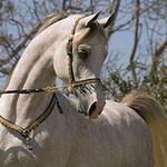 Baarafic - 2004 Straight Egyptian Arabian Colt sired by Imperial Baarez;   show record: 2x Pan Pacific Supreme Champion Stallion, QLD Australia.  Jenni Ogden photo
