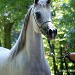 Imperial Beveerah - 2005 Straight Egyptian Arabian Mare sired by Imperial Baarez; bred by Imperial Egyptian Stud and owned by Prestige Arabians, Belgium;  Show record: 2006 Egyptian Event Yearling Futurity Champion & Egyptian Event Europe - Res. Jr. Champion; also Egyptian Event Italy - Jr. Champion