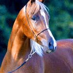 Azaam El Farres - 2000 Straight Egyptian Arabian Colt sired by Farres;  show record: Arkansas Fall Fling Yearling Colts Class winner, Scott Trees photo